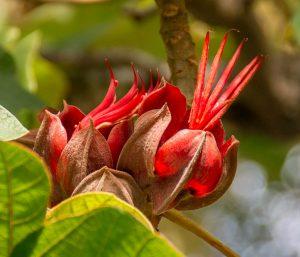 Devil's hand flower (Chiranthodendron pentadactylon)