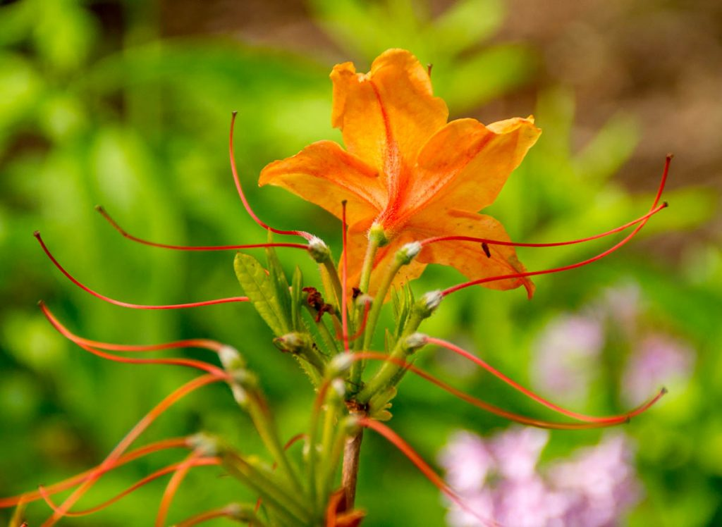 Rhododendron calendulaceum,Botanic Gardens, Wellington, Wellington, Nieuw Zeeland (2011)