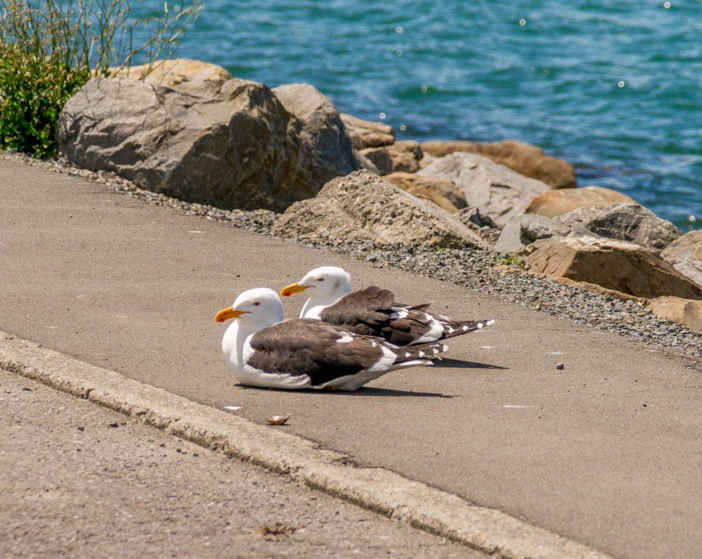 Kelpmeeuwen (Larus dominicanus),InterIslander , Wellington, Wellington, Nieuw Zeeland (2011)