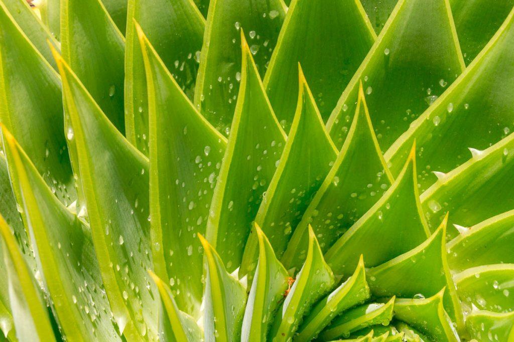 Spiraal Aloë (Aloe polyphylla),Nelson, Nelson, Nieuw Zeeland (2011)