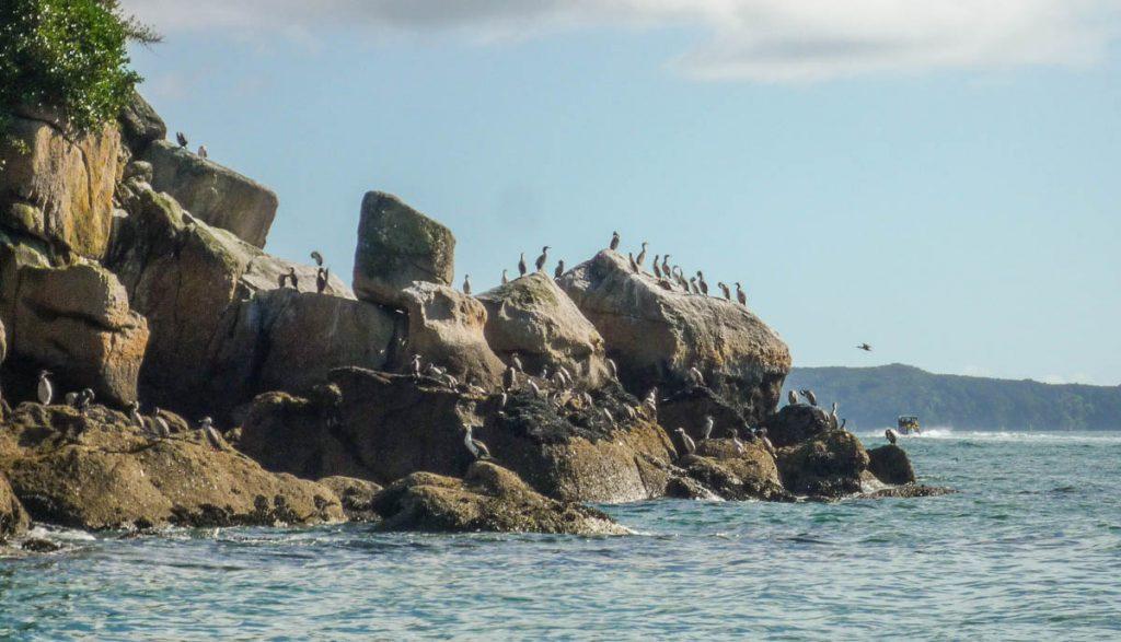Bonte Aalscholvers (Phalacrocorax varius),Towers Bay, Marahau, Nelson, Nieuw Zeeland (2011)