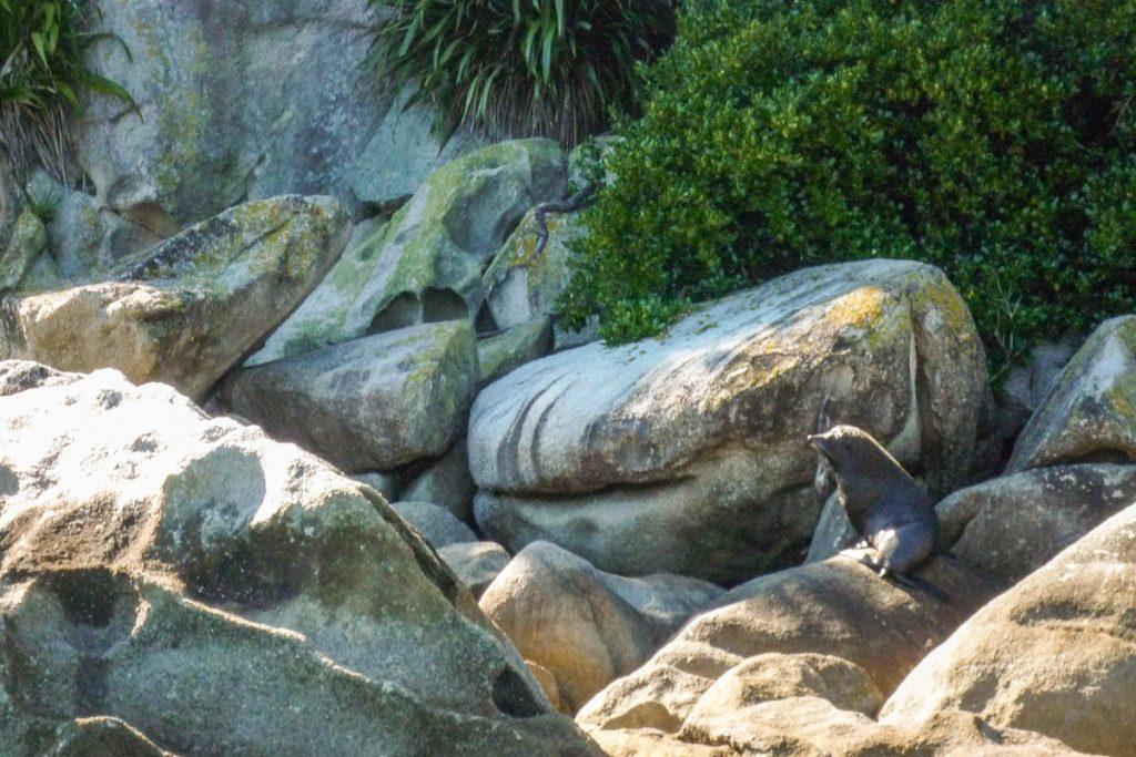 Nieuw-Zeelandse zeebeer (Arctocephalus forsteri),Tonga Island, Abel Tasman National Park, Nelson, Nieuw Zeeland (2011)