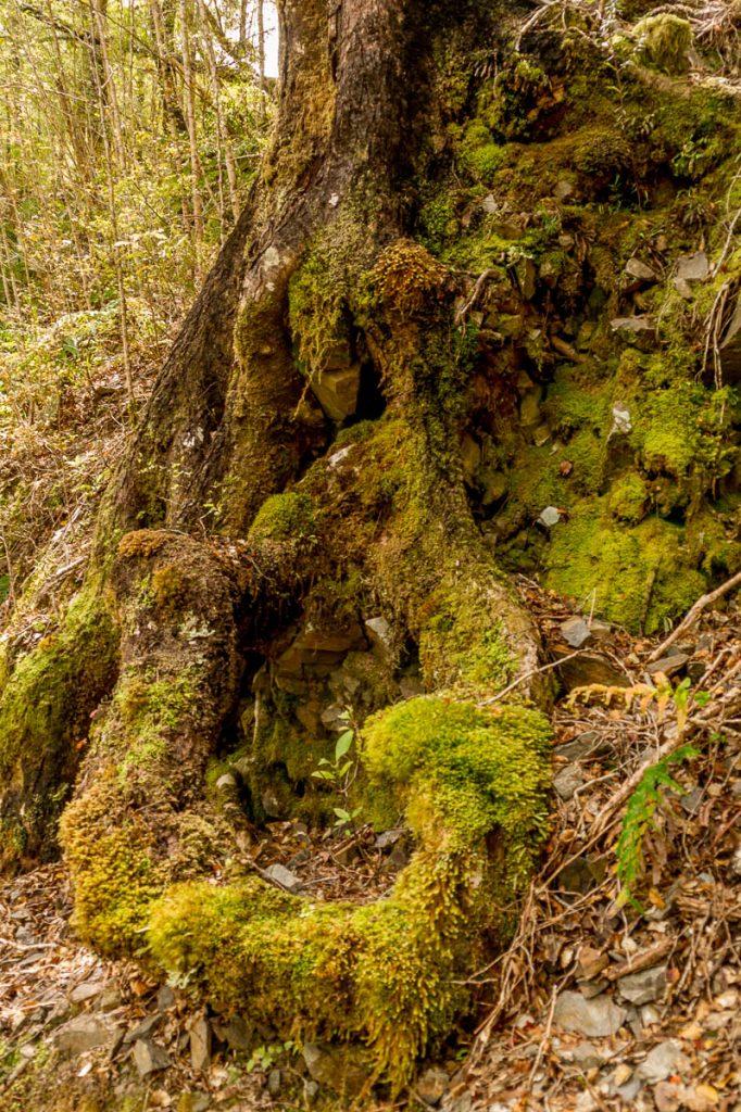 Mossige boomwortels,Inangahua, West Coast, Nieuw Zeeland (2011)