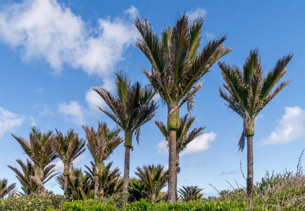 Nīkau palmen (Rhopalostylis sapida),Pancake Rocks, Paparoa National Park, West Coast, Nieuw Zeeland (2011)