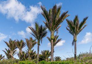 Nīkau palmen (Rhopalostylis sapida)