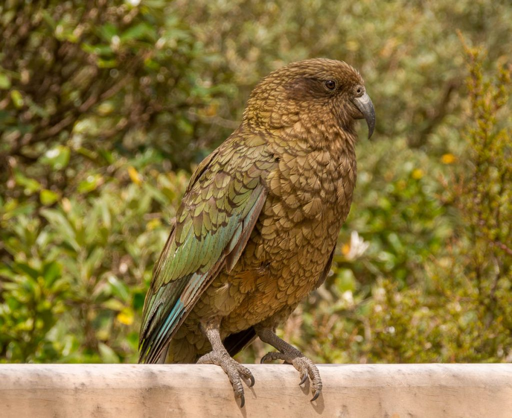Kea (Nestor notabilis),Roberts Point Track, Westland National Park, West Coast, Nieuw Zeeland (2011)
