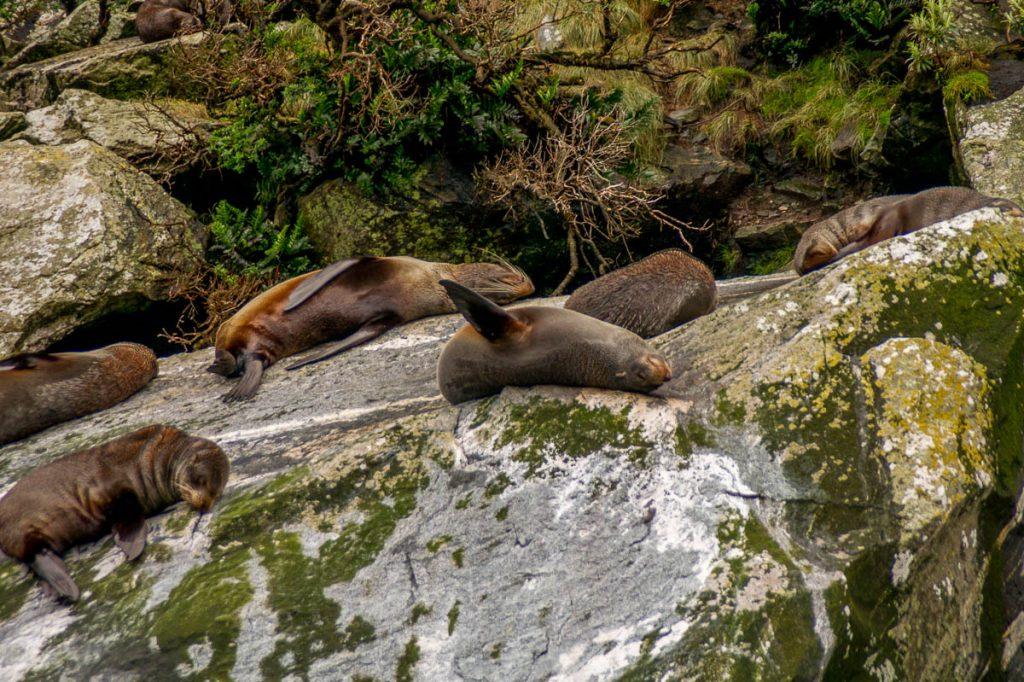 Nieuw-Zeelandse zeeberen (Arctocephalus forsteri),Milford Sound, Fiordland National Park, Southland, Nieuw Zeeland (2011)