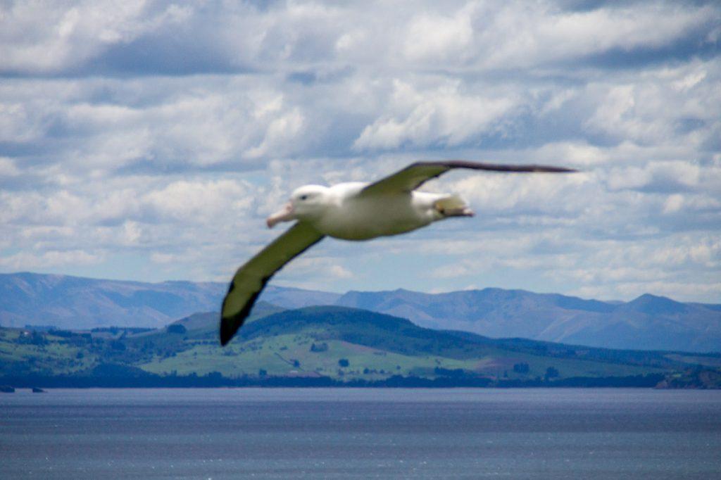 Noordelijke Koningsalbatros (Diomedea sanfordi),Otago Peninsula, Dunedin, Otago, Nieuw Zeeland (2011)