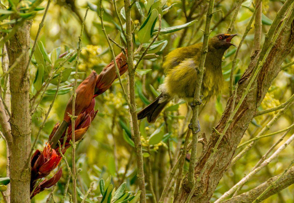 Anthornis melanura,Otago Peninsula, Dunedin, Otago, Nieuw Zeeland (2011)
