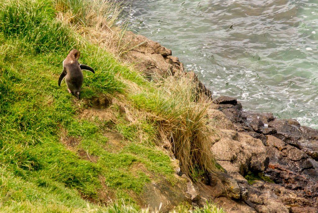 Geeloogpinguïn (Megadyptes antipodes),Otago Peninsula, Dunedin, Otago, Nieuw Zeeland (2011)