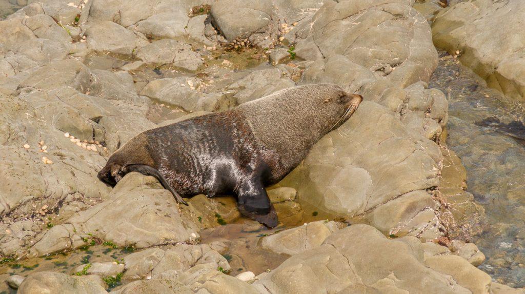 Nieuw-Zeelandse zeebeer (Arctocephalus forsteri),Half Moon Bay, Canterbury, Nieuw Zeeland (2011)
