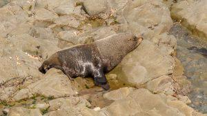 Nieuw-Zeelandse zeebeer (Arctocephalus forsteri)