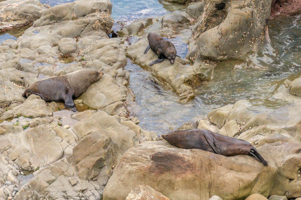 Nieuw-Zeelandse zeeberen (Arctocephalus forsteri),Half Moon Bay, Canterbury, Nieuw Zeeland (2011)