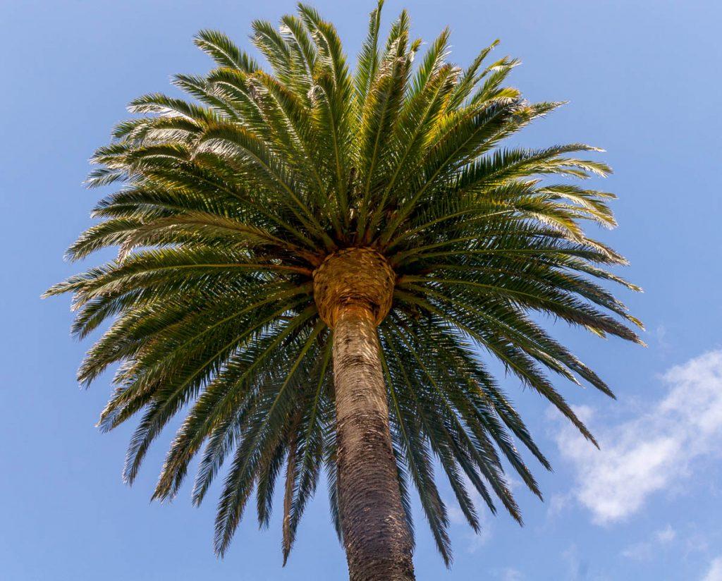 Canarische dadelpalm (Phoenix canariensis),Clive Square, Napier, Hawke's Bay, Nieuw Zeeland (2011)