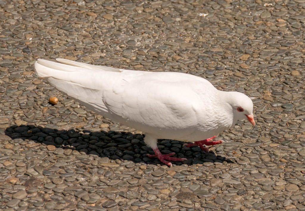 Witte duif,Clive Square, Napier, Hawke's Bay, Nieuw Zeeland (2011)