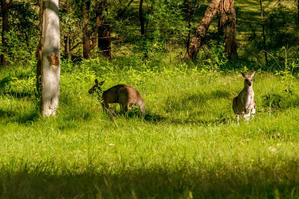 Westelijke grijze reuzenkangoeroes (Macropus fuliginosus),Euroka campground, Penrith, New South Wales, Australië (2011)