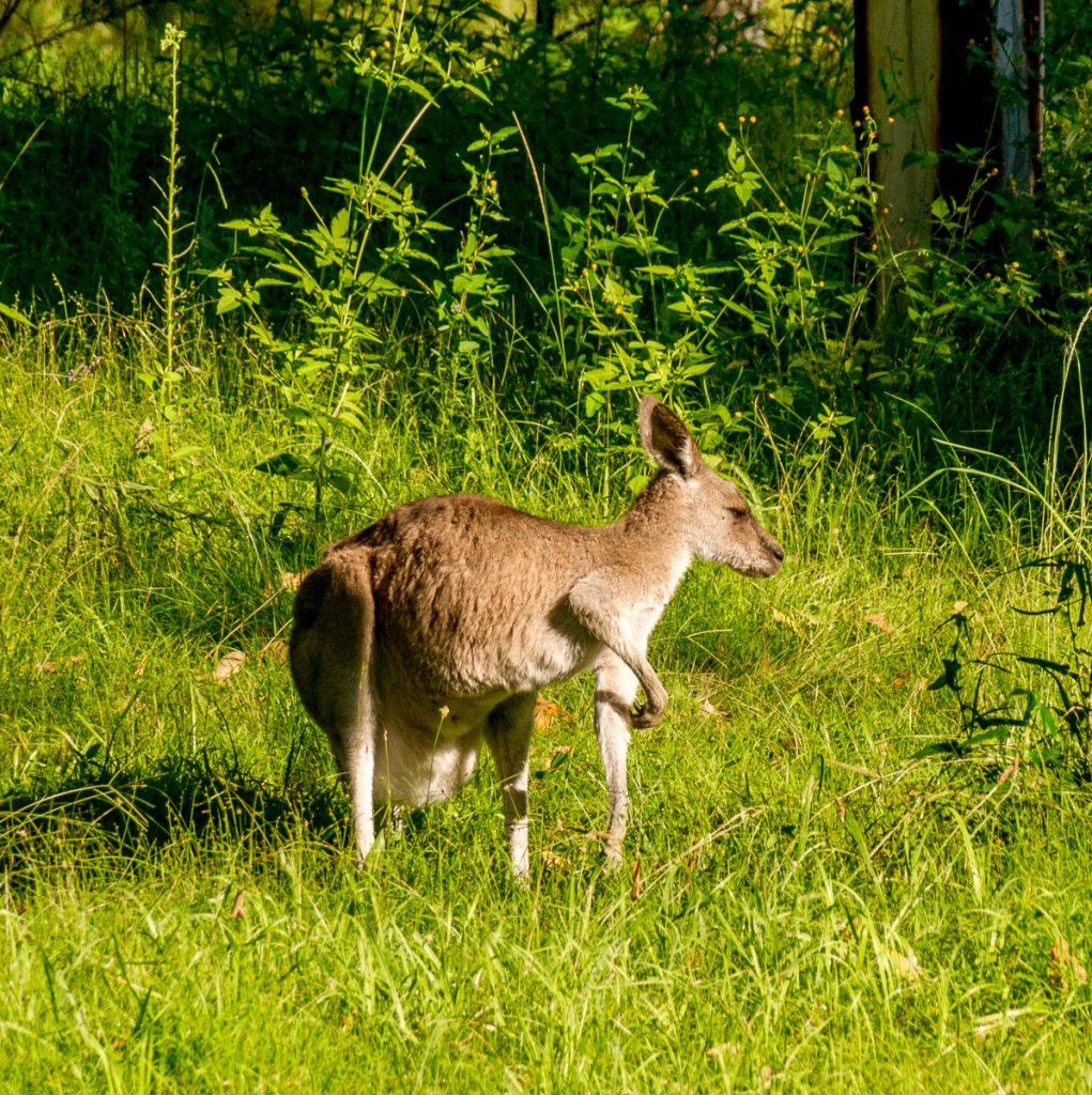Westelijke grijze reuzenkangoeroe (Macropus fuliginosus),Euroka campground, Penrith, New South Wales, Australië (2011)