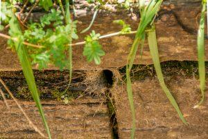 Hier huist een Funnel-web Spider
