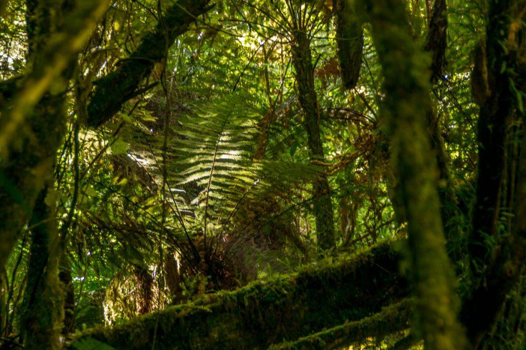 Boomvaren,Waitanguru Falls, Pio Pio, Waikato, Nieuw Zeeland (2012)