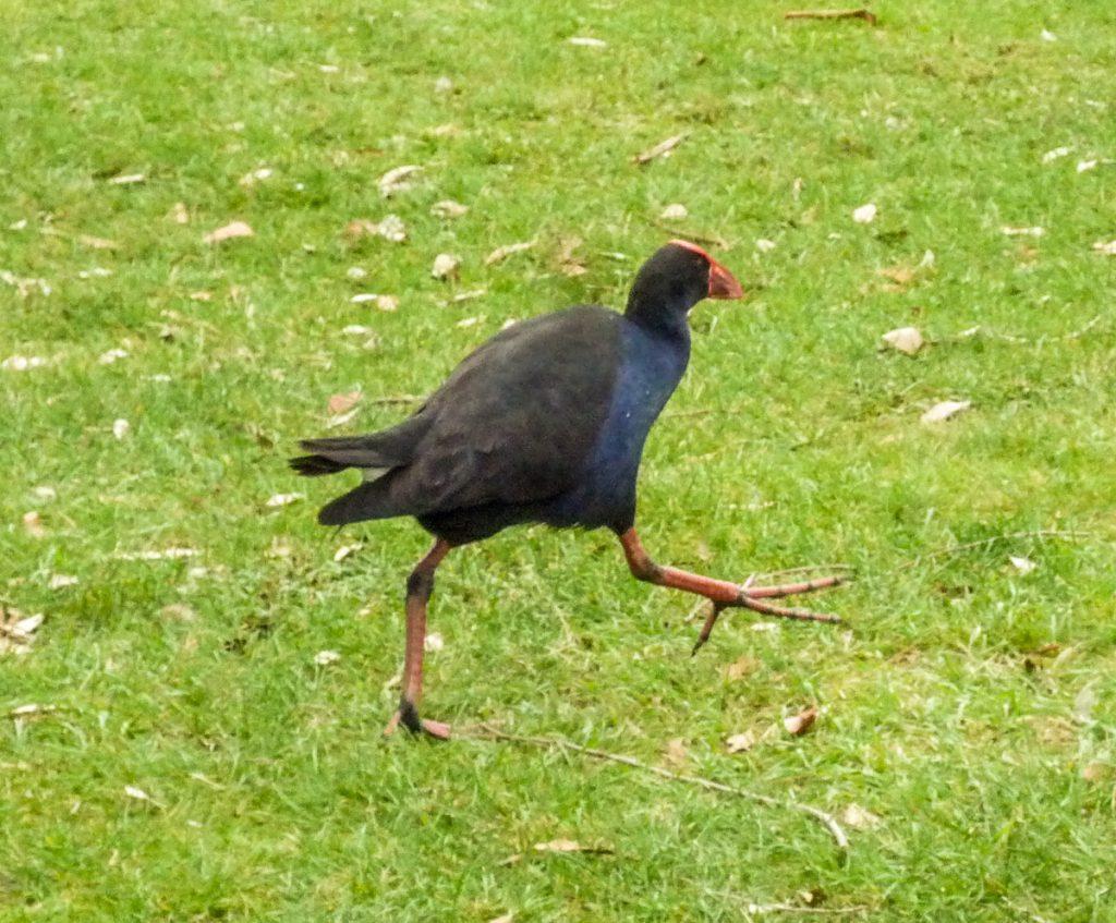 Pūkeko (Porphyrio porphyrio melanotus),The Lake, Hamilton, Waikato, Nieuw Zeeland (2012)