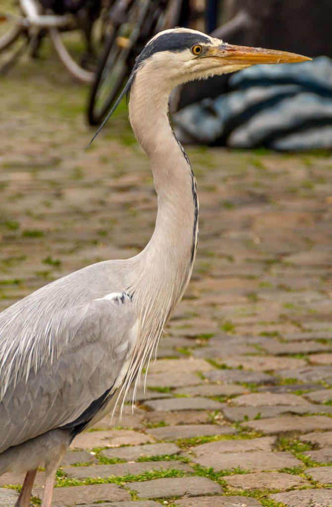 Blauwe reiger (Ardea cinerea),Hoorn, Noord-Holland (2012)