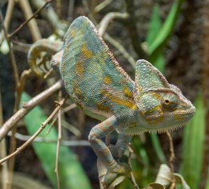 Panterkameleon (Furcifer pardalis)