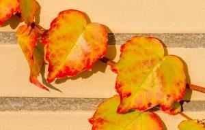 Oosterse wingerd (Parthenocissus tricuspidata)