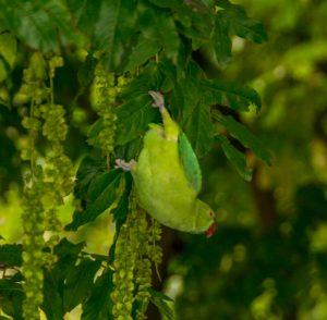 Halsbandparkiet (Psittacula krameri)