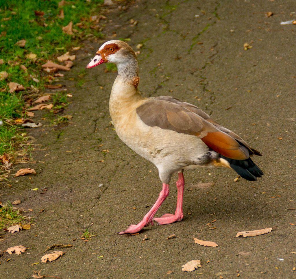 Nijlgans (Alopochen aegyptiaca),Zuiderpark, Den Haag, Zuid-Holland (2013)