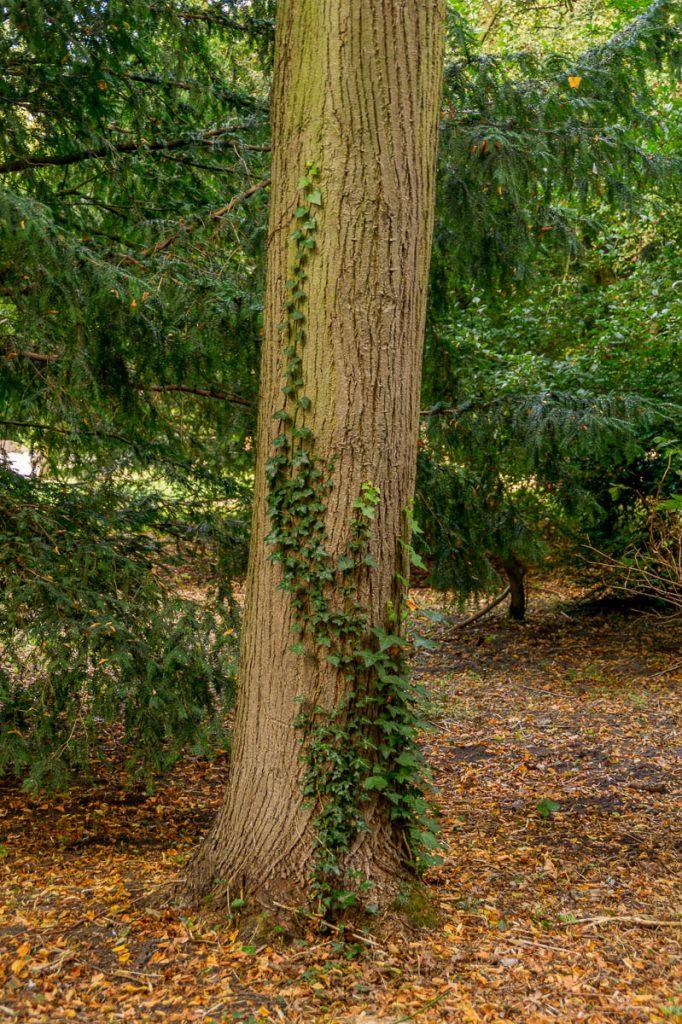 Klimop,Zuiderpark, Den Haag, Zuid-Holland (2013)