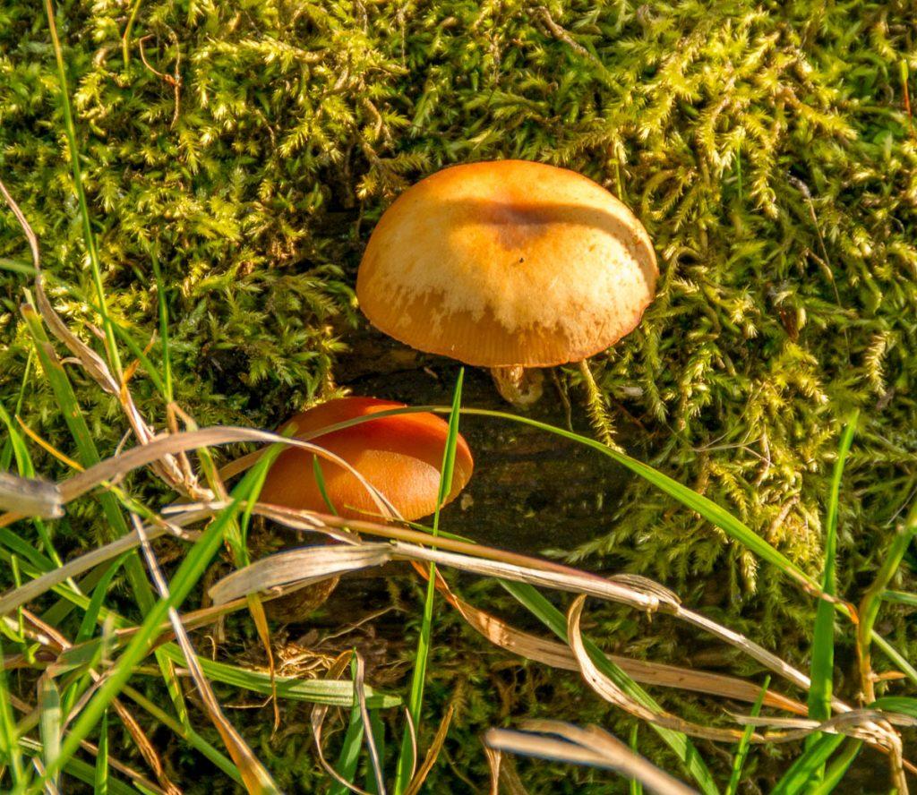 Gewone fopzwam (Laccaria laccata),Lelystad, Flevoland (2013)
