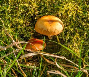 Gewone fopzwam (Laccaria laccata)