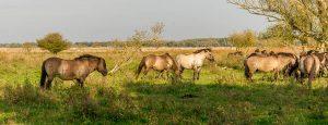 Konikpaard (Equus caballus caballus)