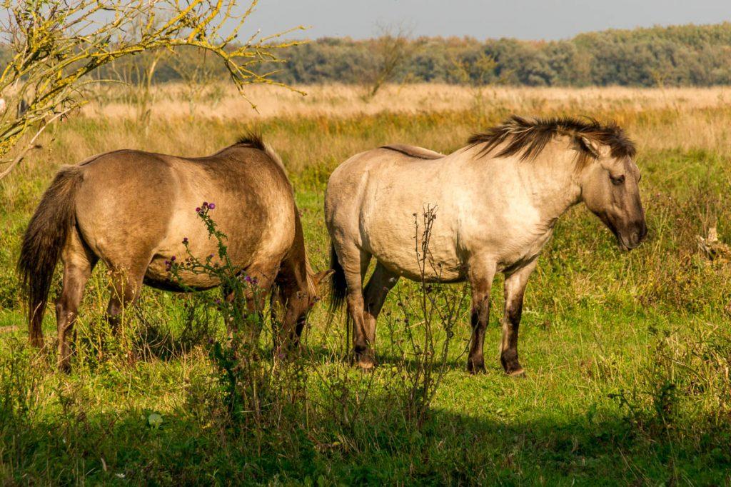 Konikpaarden (Equus caballus caballus),Lelystad, Flevoland (2013)