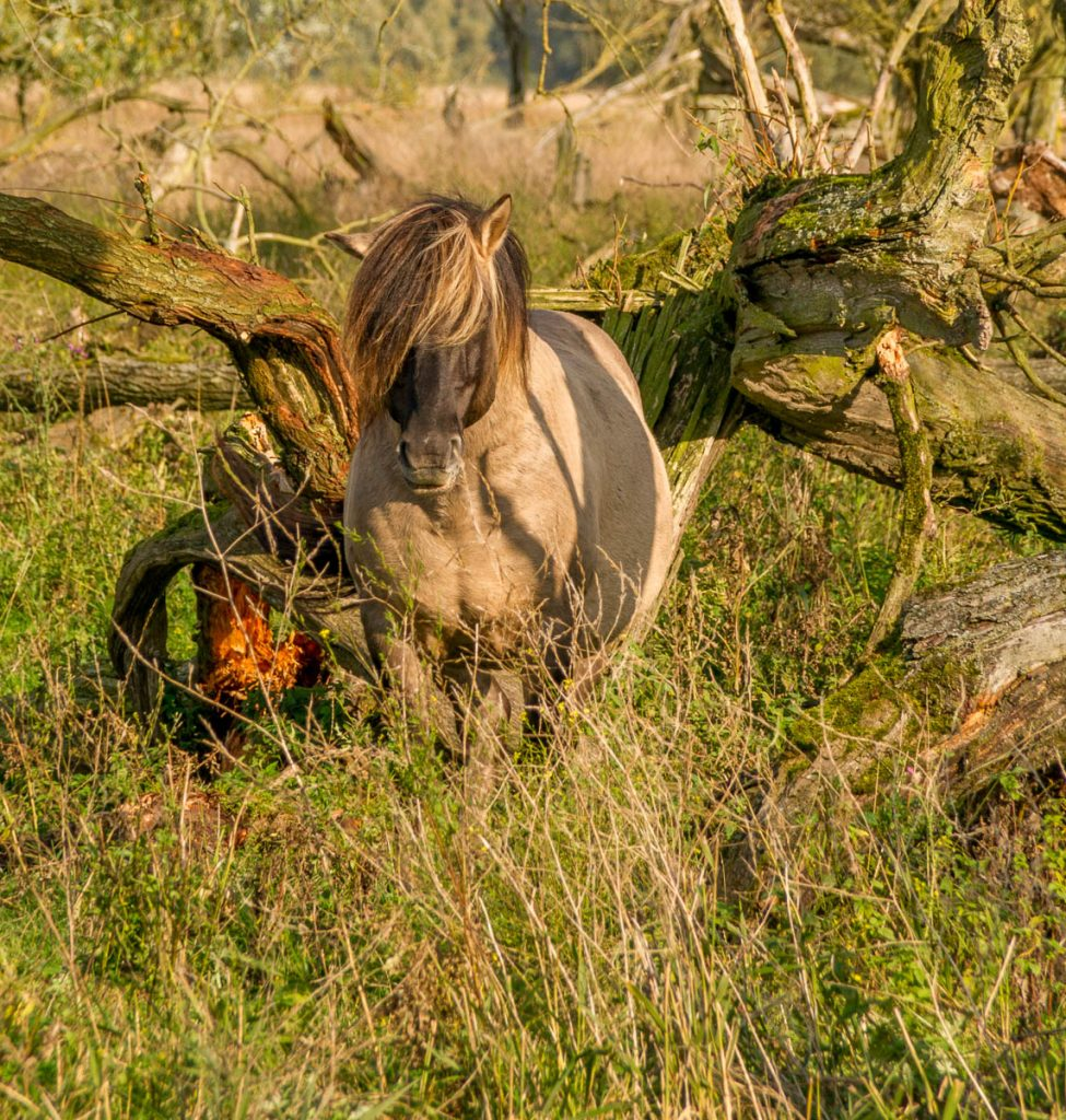 Konikpaard (Equus caballus caballus),Lelystad, Flevoland (2013)