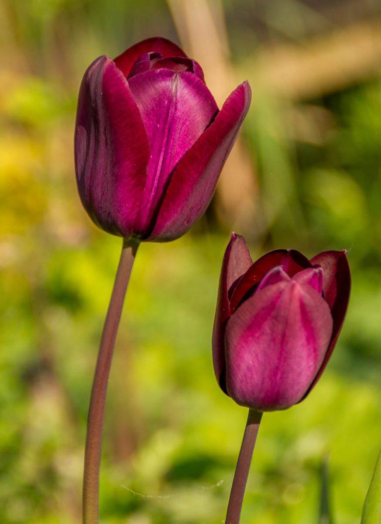 Tulpen,Lelystad, Flevoland (2014)