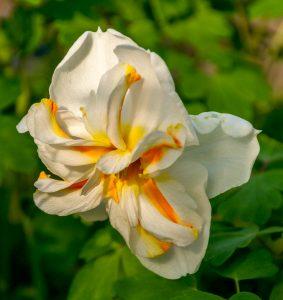 Narcis 'Cheerfulness'
