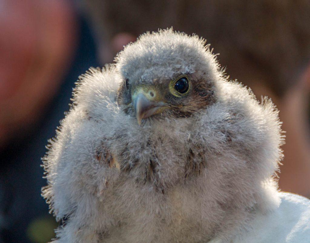 Jonge torenvalk (Falco tinnunculus),Dronten, Flevoland (2014)