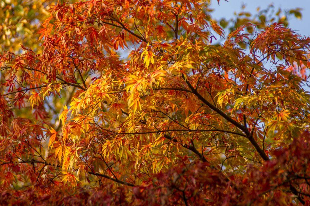 Japanse Esdoorn (Acer palmatum),Zuiderpark, Den Haag, Zuid-Holland (2014)