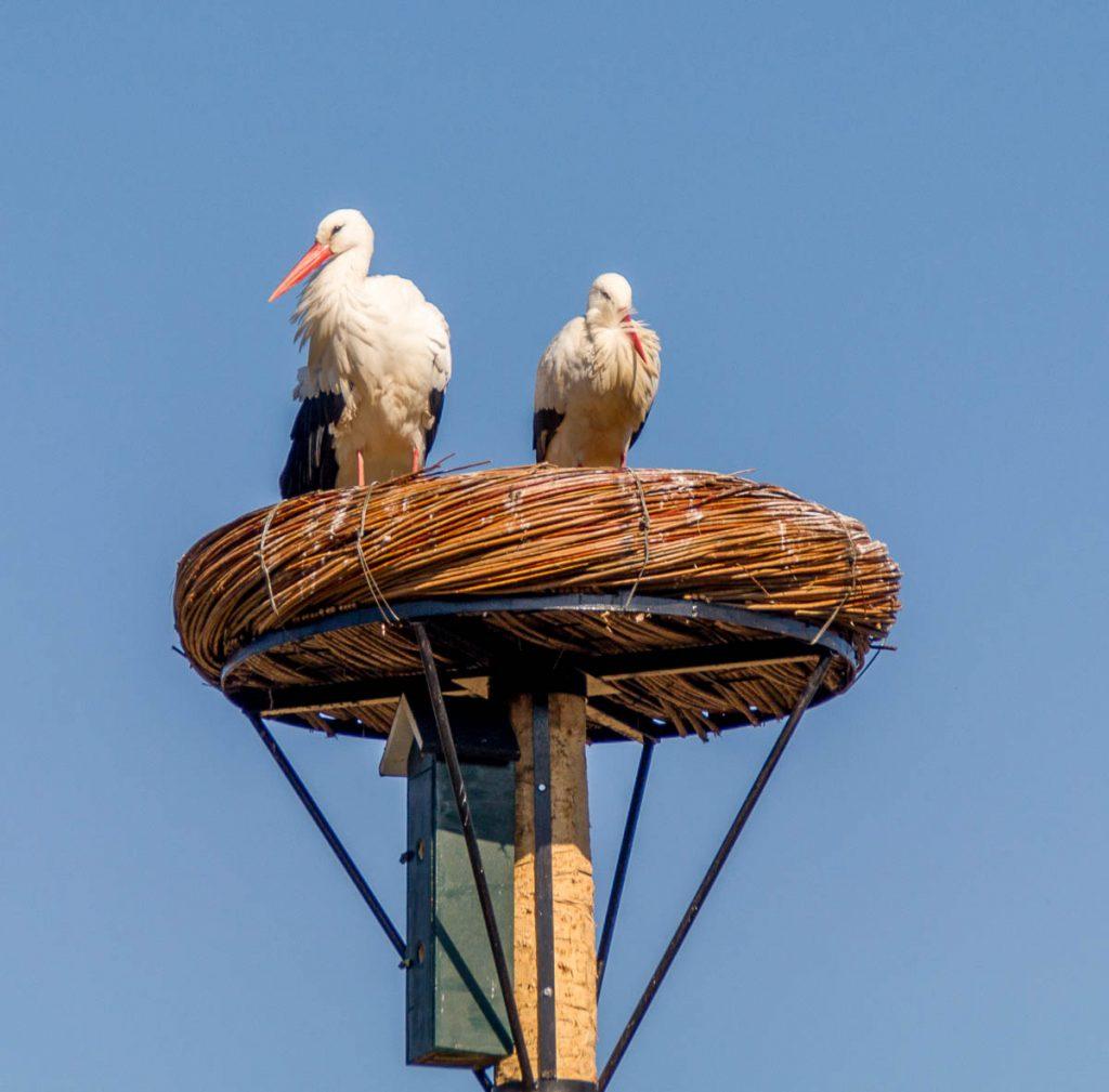 Ooievaar (Ciconia ciconia),Natuurpark Lelystad, Lelystad, Flevoland (2015)