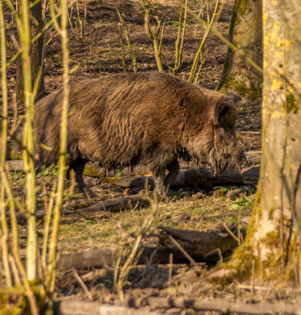 Wild Zwijn (Sus scrofa),Natuurpark Lelystad, Lelystad, Flevoland (2015)