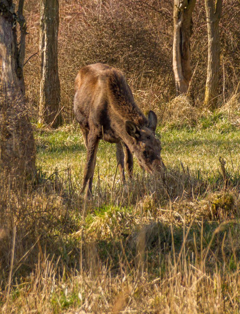 Eland (Alces alces),Natuurpark Lelystad, Lelystad, Flevoland (2015)