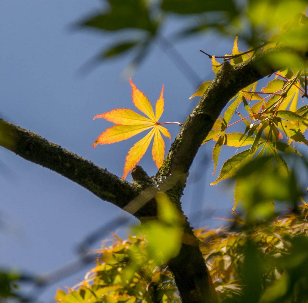 Japanse Esdoorn (Acer palmatum),Zuiderpark, Den Haag, Zuid-Holland (2015)