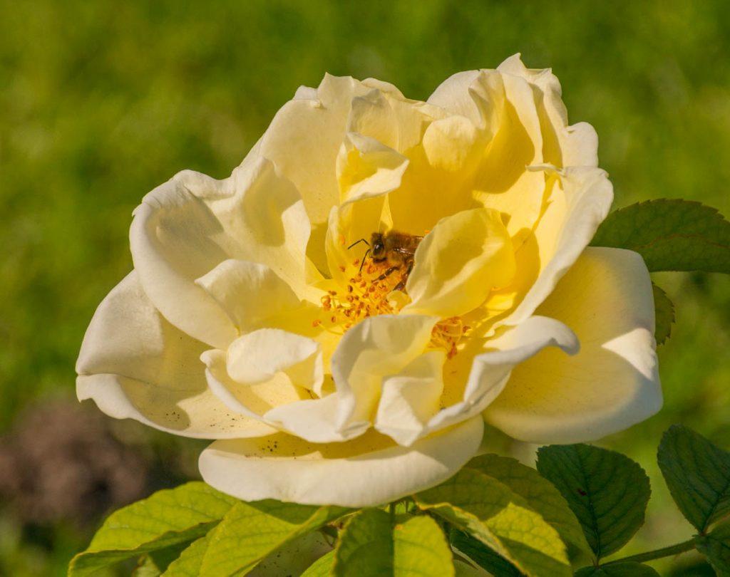 Honingbij (Apis mellifera) op een roos,Zuiderpark, Den Haag, Zuid-Holland (2015)