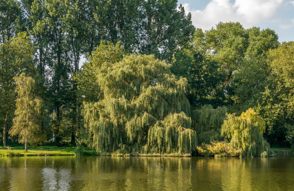 Wilg,Zuiderpark, Den Haag, Zuid-Holland (2015)