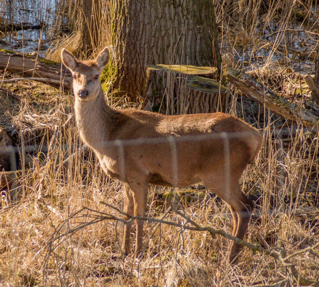 Edelhert (Cervus elaphus),Knardijk, Lelystad, Flevoland (2016)