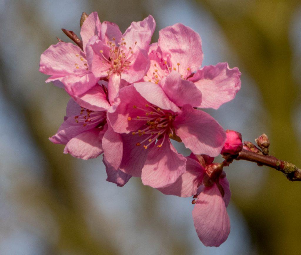 Japanse Sierkers (Prunus serrulata),Lelystad, Flevoland (2016)