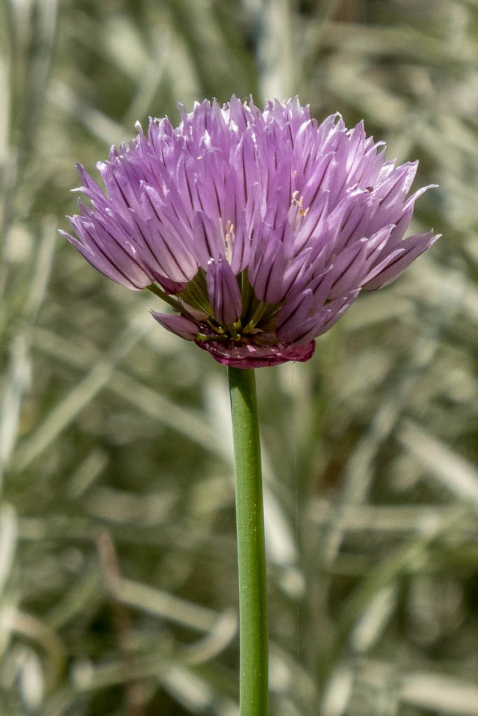 Bieslook (Allium schoenoprasum),Noord-Holland (2016)