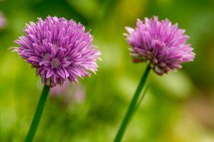 Bieslook (Allium schoenoprasum)
