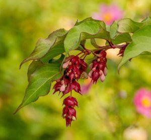 Fazantenbes (Leycesteria formosa)